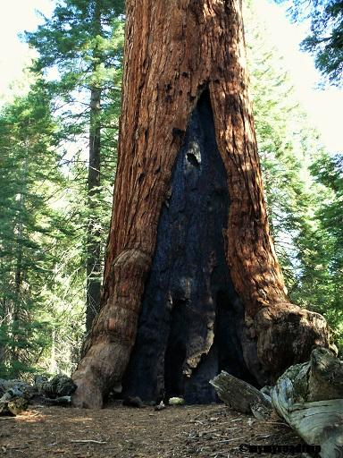 Sequoi-mariposagrove