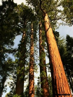 Yosemite-mariposagrove